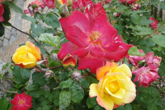 Rose, Cosa