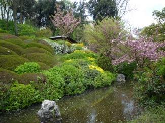 fioritura ciliagio giapponese